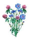 Blåa blåklinter och rosa växt av släktet Trifoliumtreklöverbukett Arkivbilder
