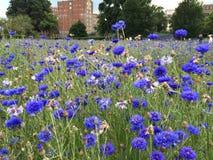Blåa blåttblått Royaltyfri Foto