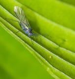 Blåa bladlöss med en springtail Royaltyfria Foton