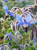 Blåa blommaklockor Fotografering för Bildbyråer