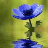 blåa blommawaterdrops för anemon Arkivfoto