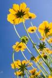 blåa blommor över livlig yellow för sky Royaltyfri Fotografi