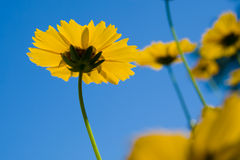 blåa blommor över livlig yellow för sky arkivfoton