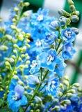 blåa blommor Royaltyfria Foton