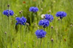 blåa blommor Royaltyfri Fotografi