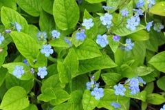 blåa blommor Fotografering för Bildbyråer