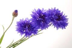 blåa blommor Royaltyfria Bilder