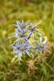Blåa blommor för tistel som blommar i sommarträdgården arkivfoto
