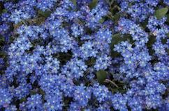 blåa blommor glömmer mig inte Royaltyfri Foto
