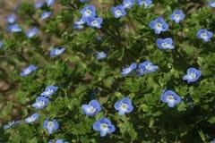blåa blommor little Arkivbild
