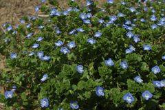 blåa blommor little Arkivfoto