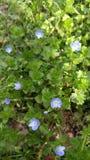 blåa blommor little Arkivbilder