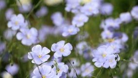 Blåa blommor svänger i vinden Linum usitatissimum arkivfilmer