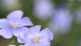 Blåa blommor svänger i vinden Linum usitatissimum stock video