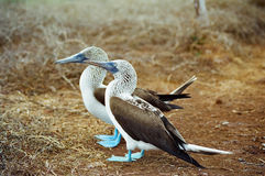 blåa boobies footed galapagos Royaltyfri Foto