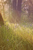 Blåa camas blommor i en skogäng med mjuka ljusa strålar och tappningeffekt Royaltyfria Bilder