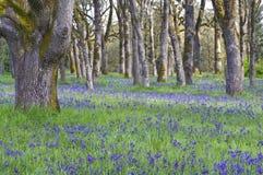 Blåa Camas vildblommor som blommar i ängen bland ekarna i horisontalposition Royaltyfri Fotografi