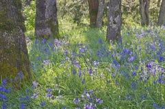 Blåa Camas vildblommor som blommar i ängen bland ekarna i mjukt solljus Royaltyfri Fotografi