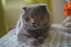 Blåa Cat Scottish Fold vikta öron fotografering för bildbyråer