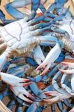 blåa chesapeakekrabbor Arkivfoton