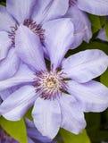 blåa clematisblommor fotografering för bildbyråer