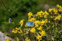 Blåa crimean fjärilar framme av gula blommor royaltyfria foton