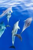 blåa delfiner under vatten royaltyfri fotografi