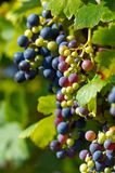 blåa druvor Arkivbild