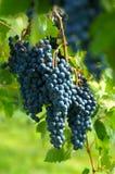 blåa druvor royaltyfria foton