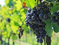 Blåa druvor av vinrankan på vingårdfält royaltyfria bilder