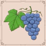 blåa druvor Den drog kulöra handen skissar på beige bakgrund stock illustrationer