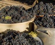 Blåa druvor i behållare efter skörden arkivfoton