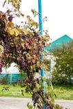 Blåa druvor i byn Arkivbilder