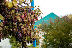 Blåa druvor i byn Arkivbild