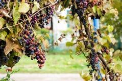 Blåa druvor i byn Arkivfoto