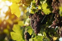 Blåa druvor i vinrankagård Royaltyfri Fotografi