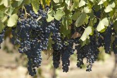 Blåa druvor i vinrankagård royaltyfria foton