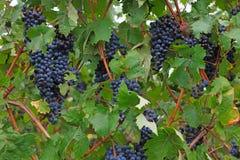 Blåa druvor på en buske Fotografering för Bildbyråer