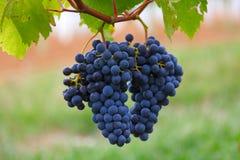 Blåa druvor på en buske Royaltyfria Bilder