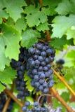 blåa druvor som hänger vinen royaltyfri fotografi