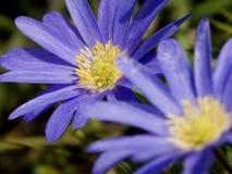 blåa duettwindflowers Arkivfoto