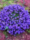 Blåa eller violetta blommaklockor i stenkruka Klockblommablomningslut upp royaltyfria bilder