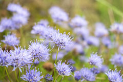 blåa fältblommor Små bräckliga blommor med djup av fältet Royaltyfria Foton