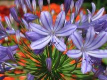 blåa färgrika blommor för blom Royaltyfri Fotografi