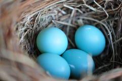 Blåa fågelägg Fotografering för Bildbyråer