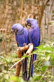 blåa fåglar Arkivbilder