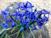 Blåa fantastiska blommor från Ukraina arkivfoto