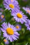 blåa fina blommor arkivbild
