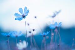 blåa fina blommor Blått kosmos med härlig toning Konstnärlig bild av blommor Royaltyfri Bild