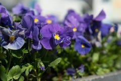 Blåa fioler med en hjärta av guld Royaltyfri Fotografi